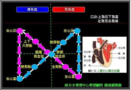 體循環與肺循環