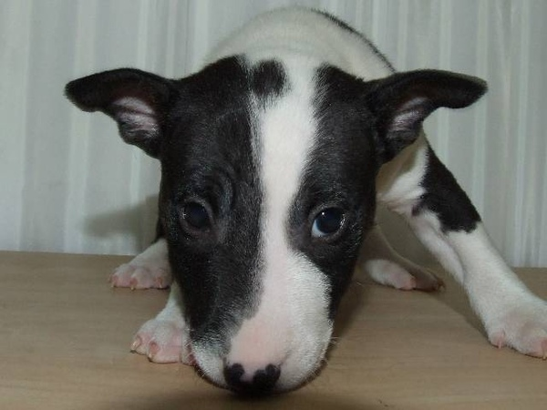 Miniature Bull Terrier 面無表情等身大的一見鍾情(by遠山藍)