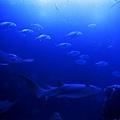 水族館-魟與魚群2
