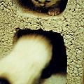 在空心磚裡追逐的小貓仔