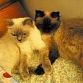 貓咪母女融洽1