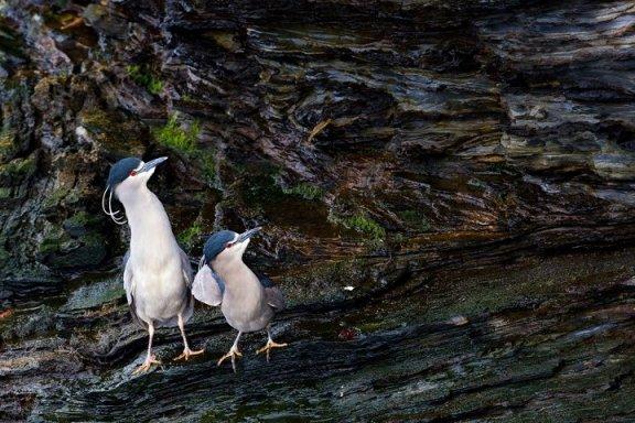 3貝雷帽鳥鳥
