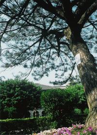 弄春池的大樹
