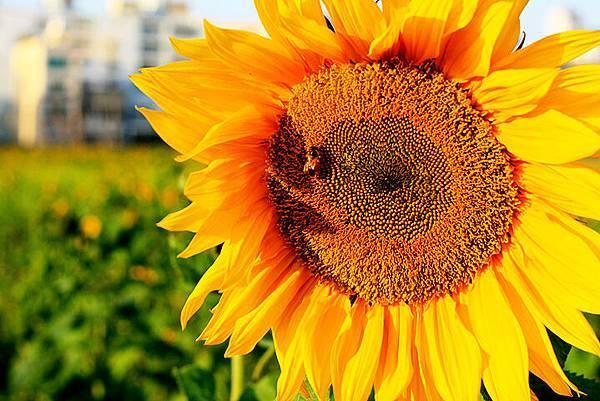 蜜蜂跟向日葵