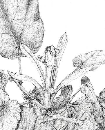 槭葉刺子木2