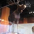 0628安省皇家博物館-大麋鹿