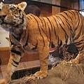 0628安省皇家博物館-老虎標本