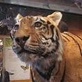 0628安省皇家博物館-老虎標本2