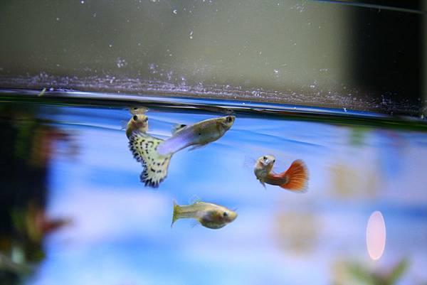 孔雀魚_01.JPG