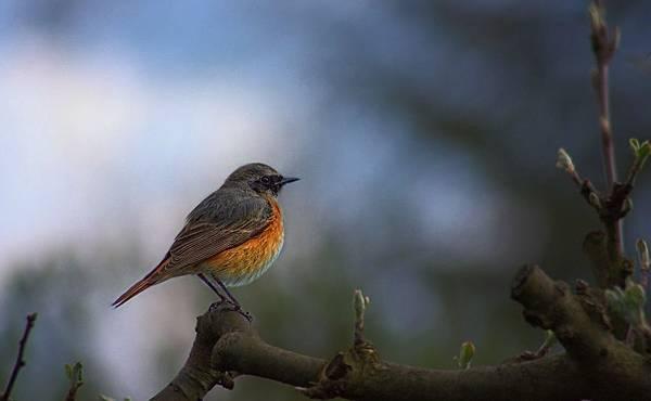 common-redstart-phoenicurus-phoenicurus-bird-garden.jpg