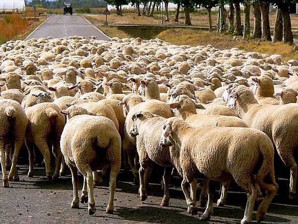 sheep-13779_640.jpg