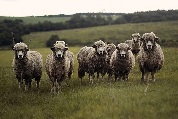 sheep-690371_1280.jpg