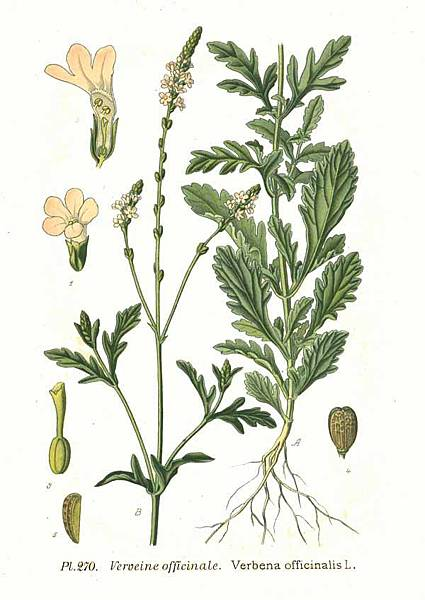 270_Verbena_officinalis_L.jpg