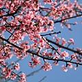 0228 粉紅色櫻花 4
