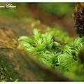 非常可愛的蕨類