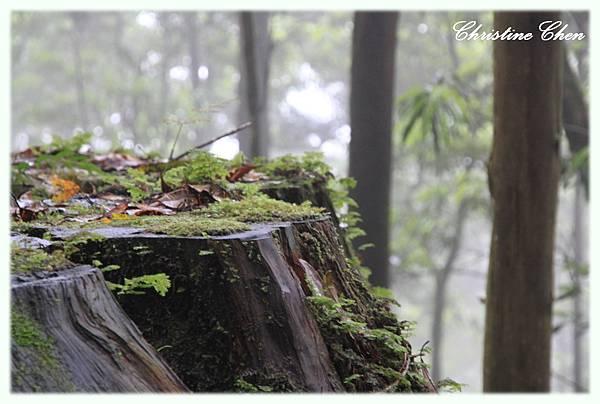 散發出檜木香的老樹根