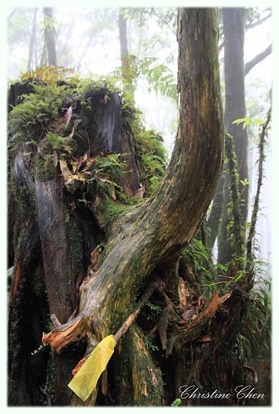 檜木老樹根