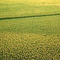 金黃的稻穗