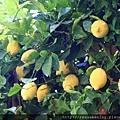 0729 第一次這麼近看Lemon Tree