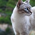 0729 路上巧遇俄羅斯白貓