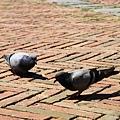 0805 一大堆鴿子在廣場上等帶餵食