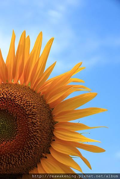 0807 太陽下的向日葵