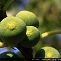 0807 可愛的小果實 是橄欖嗎