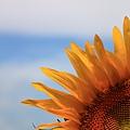 0807 向日葵. 剪影