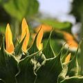0807 向日葵的背面