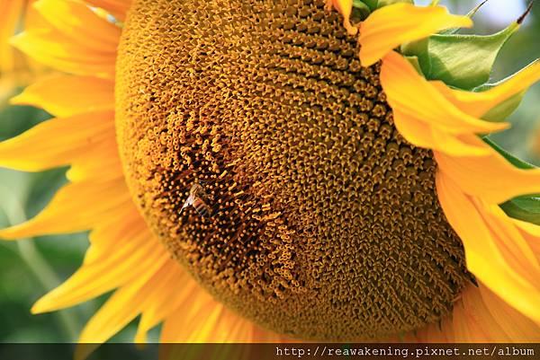 0807 好像柔軟的大枕頭 蜜蜂先生很快樂地在吸花蜜
