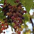 0807 門口的一串葡萄 但長太高了好難拍