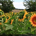 0807 看這朵不合群的向日葵 和大家反方向了