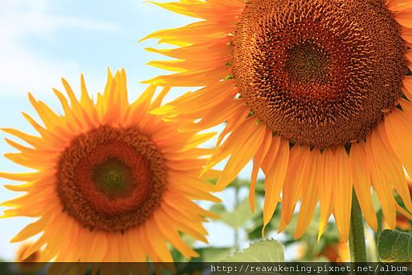 0807 真的第一次看到這麼大朵的向日葵
