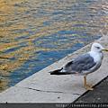0815 無意間拍到的海鷗 叫聲真是有夠難聽