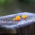 111009 木頭柱子上的小小苔蘚 真可愛