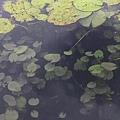 111009 水生植物