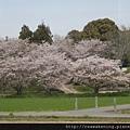 竟然看到櫻花!!