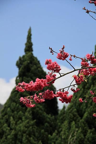 0228 去年拍過的山櫻花