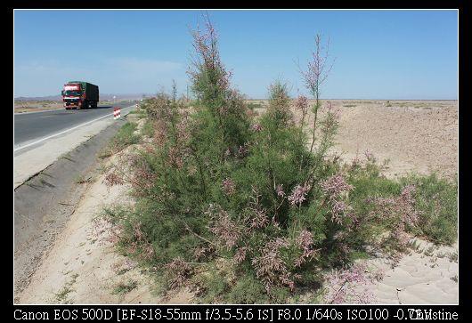 沙漠中的紅柳