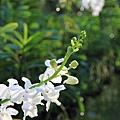 喜歡白色的蘭花