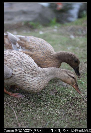 1124 可愛的小鴨子2