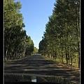 路的兩邊常有這種整齊的樹林