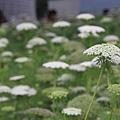 0306不知名的白色小花