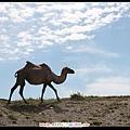 跑去近拍駱駝