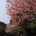 0228一整排櫻花樹
