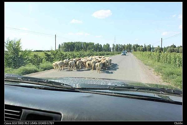 羊群過馬路