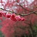 0223山櫻花近拍