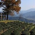 1229玉蘭茶園 4