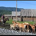 早起的晨間小路上 看到一群羊咩咩