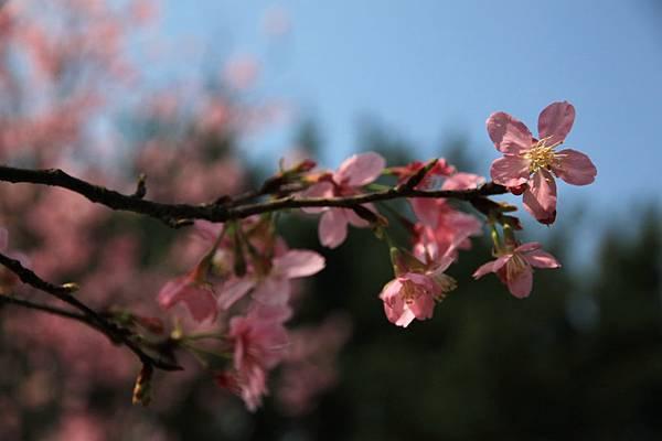 0228 粉紅色櫻花2